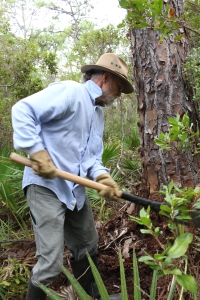 A volunteer clears vegetation from around the base of a longleaf pine