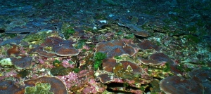 Large flat plates of Agaricia coral at Pulley Ridge. Image courtesy NOAA-OER