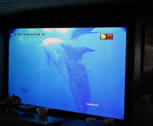 Atlantic spotted dolphins swam by the ROV and the ship outside the Tortugas Ecological
