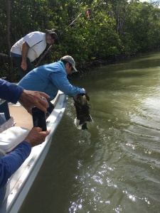 Dr. Phillip Stevens releasing a Goliath Grouper after sampling, measuring, and tagging was completed.