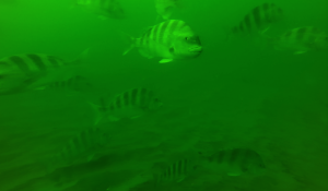 Sheepshead aggregation on artificial reef. Over 100 Sheepshead were observed on each 20 second rotation.